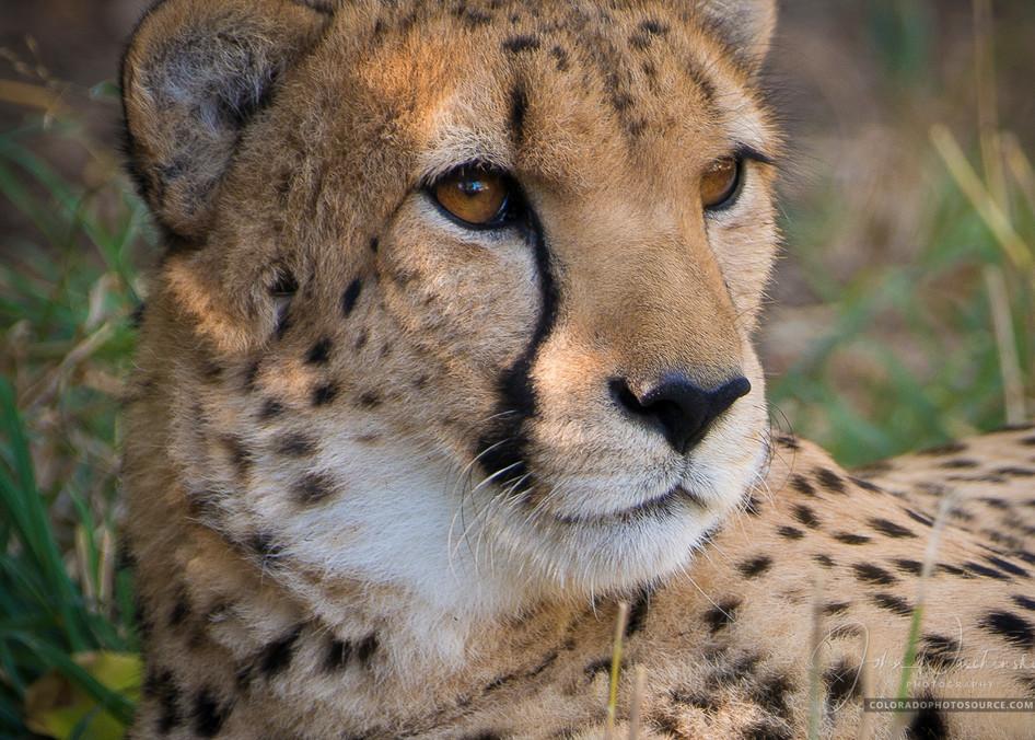 Close up Photo of Cheetah at the Denver Zoo