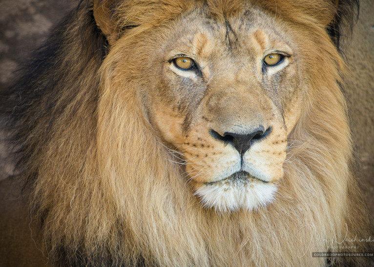 Close up Photo of a Beautiful Male Lion at Denver Zoo