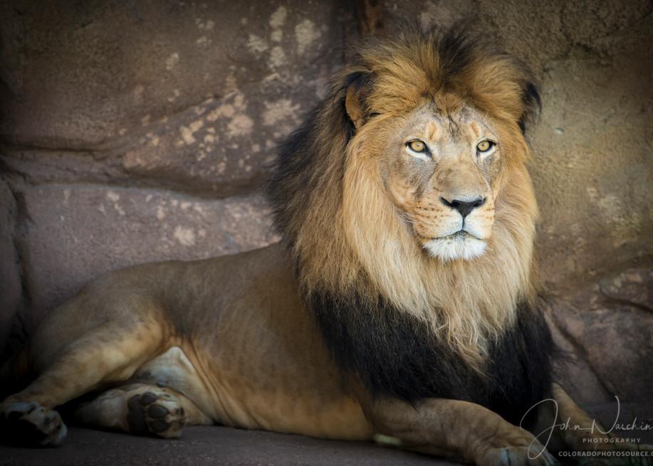 Photograph Majestic Male Lion at Denver Zoo