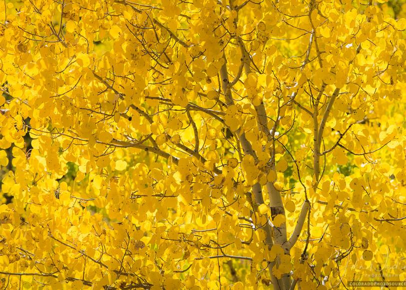 Photo Colorado Aspen Tree's Vibrant Golden Yellow Leaves