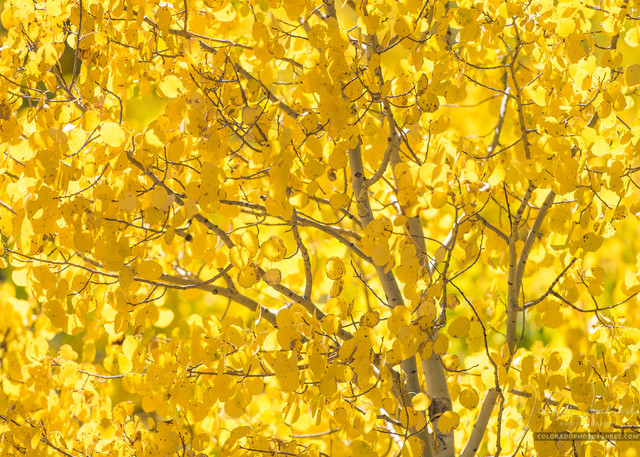 Vertical Photograph Colorado Aspen Tree in Autumn