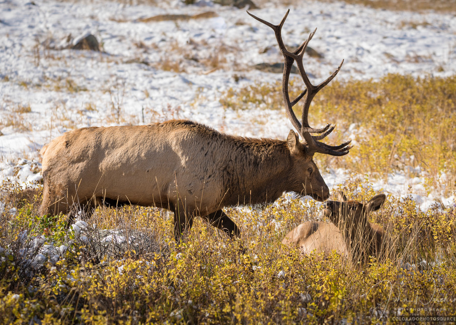 Photo of Bull Elk Watching Over Cow Rocky Mountain National Park