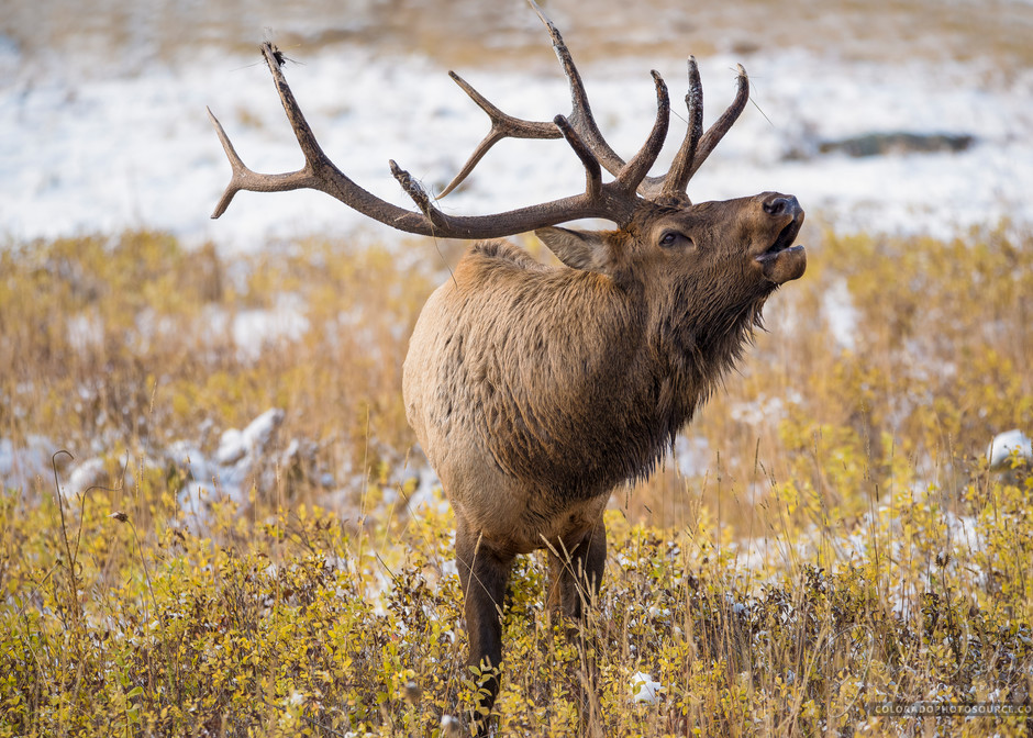 Colorado Bull Elk Bugling in Rocky Mountain National Park