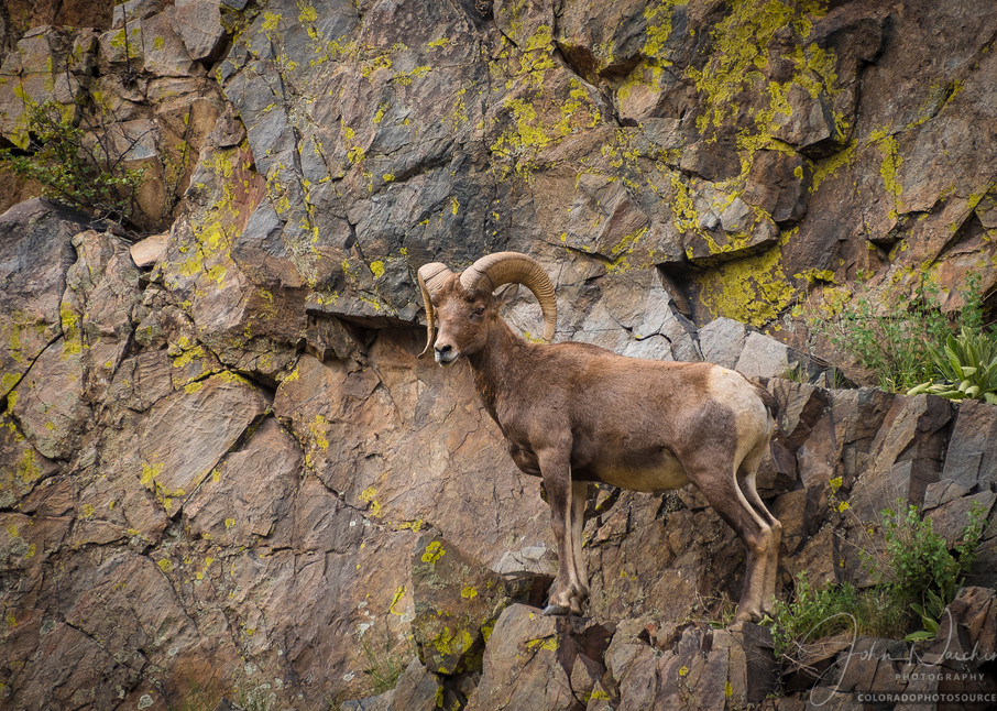 Photo of Colorado Rocky Mountain Bighorn Ram Scaling Sharp Cliff