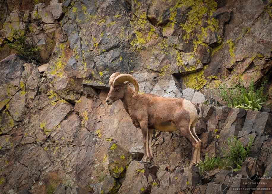 Photo of Colorado Rocky Mountain Bighorn Ram Scaling Steep Cliff