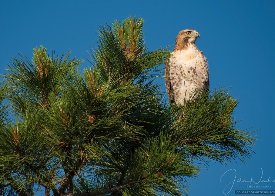 Photo of Hawk Perched atop Colorado Ponderosa Pine - Prints for Sale