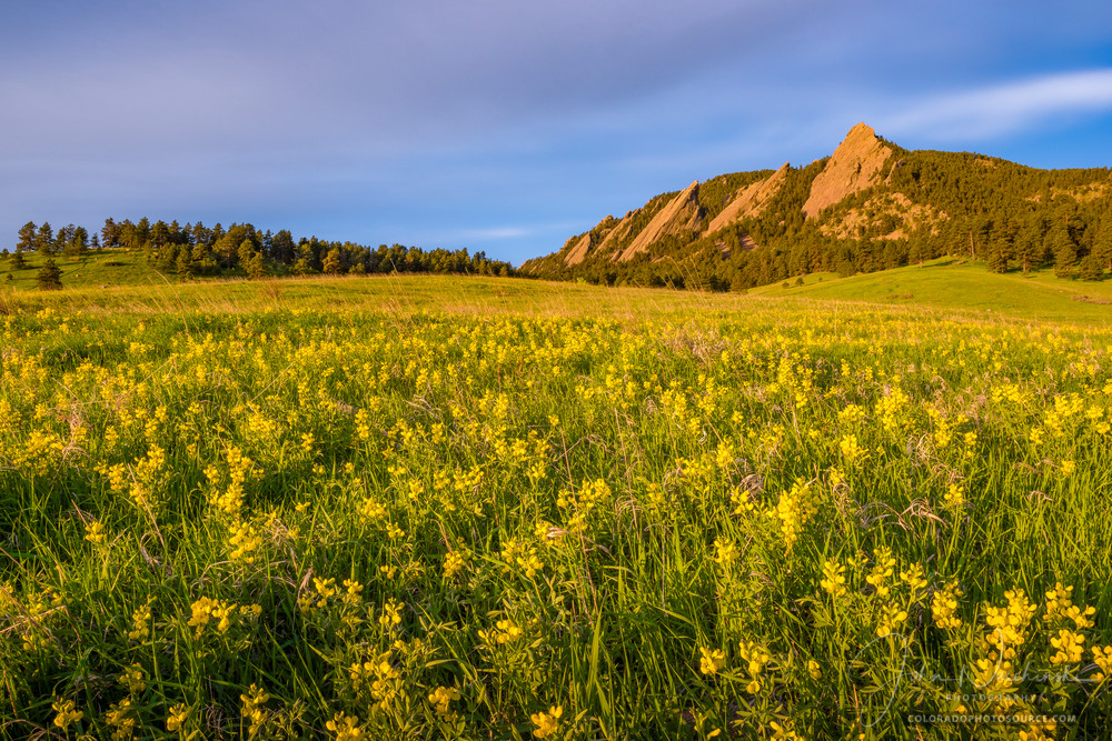 Photography of Boulder CO Flatiron Mountains Field of Golden Banner Wildflowers
