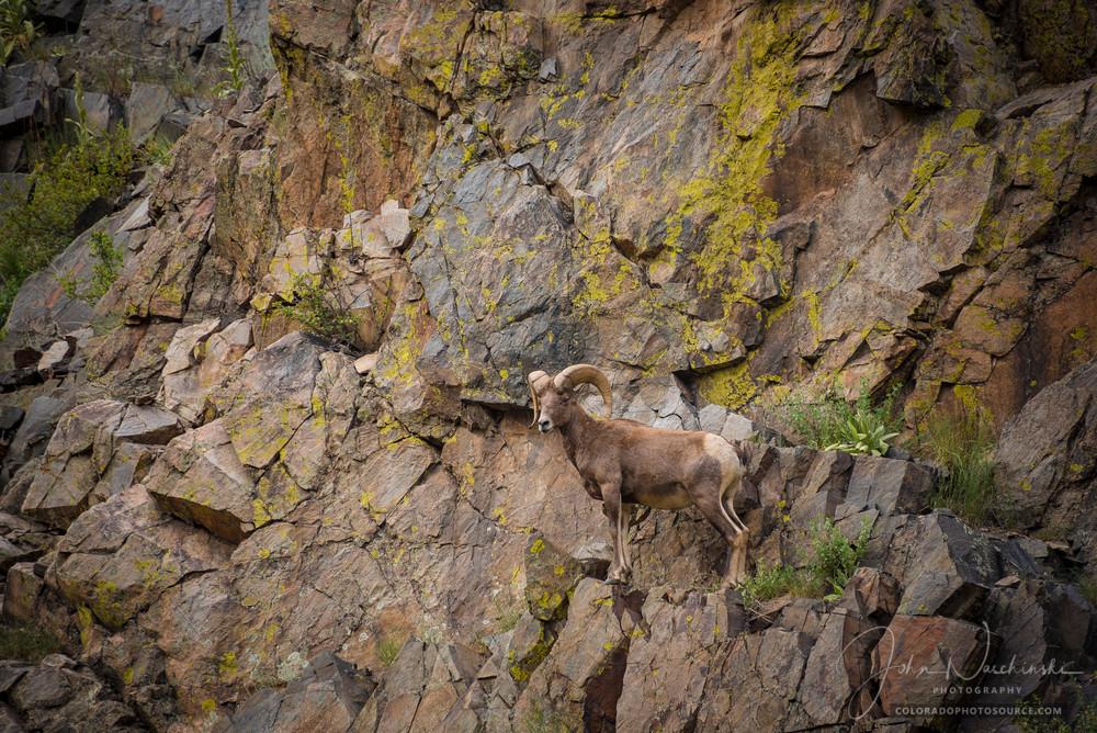 Photograph of Colorado Rocky Mountain Bighorn Ram Scaling Rock Face