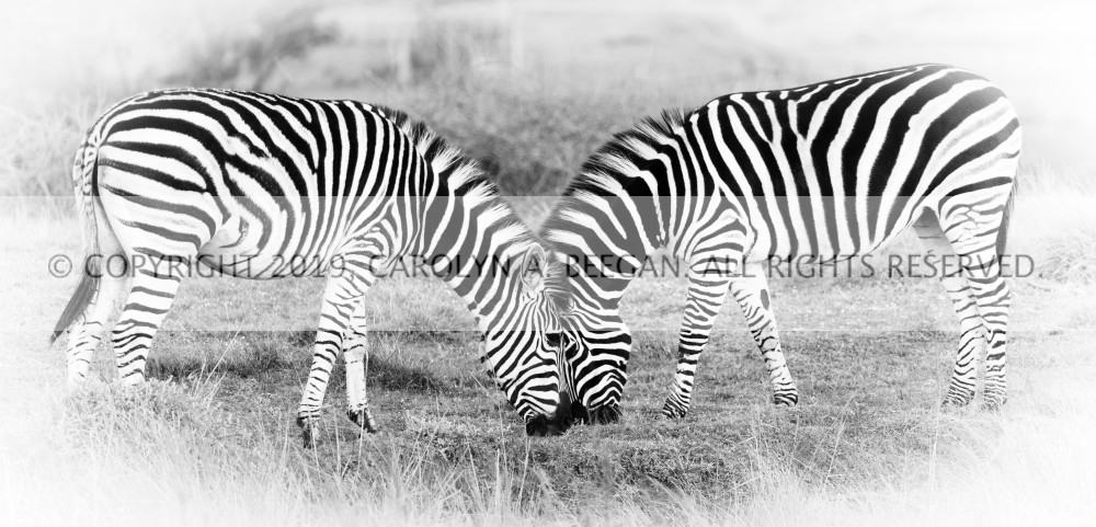 Zebras in Gondwana No. 1, 2016 by artist Carolyn A. Beegan