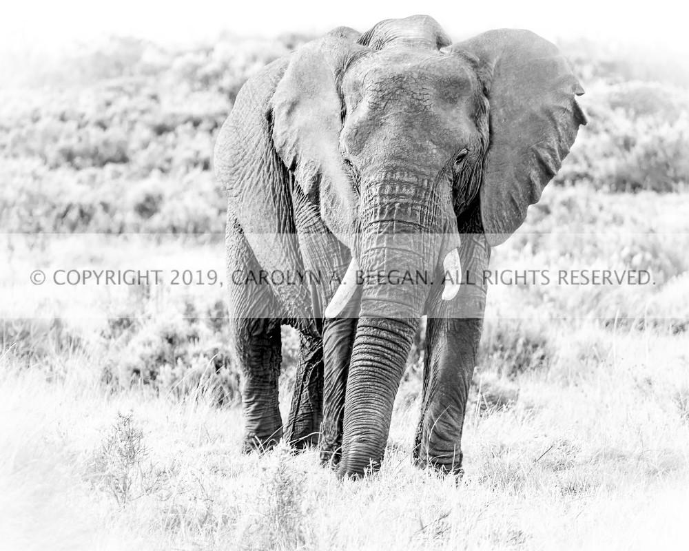 Elephant in Gondwana, Print, 2016 by artist Carolyn A. Beegan