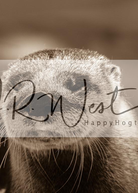 Otter Sepia Photography Art   Happy Hogtor Photography