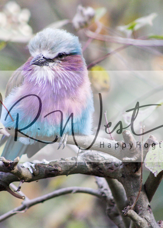 african-lilac-breasted-roller