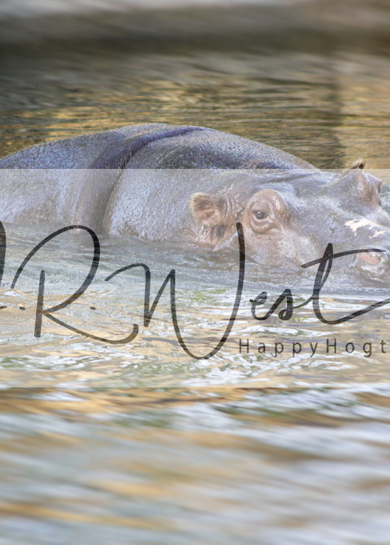 hippos-have-the-cutest-ears