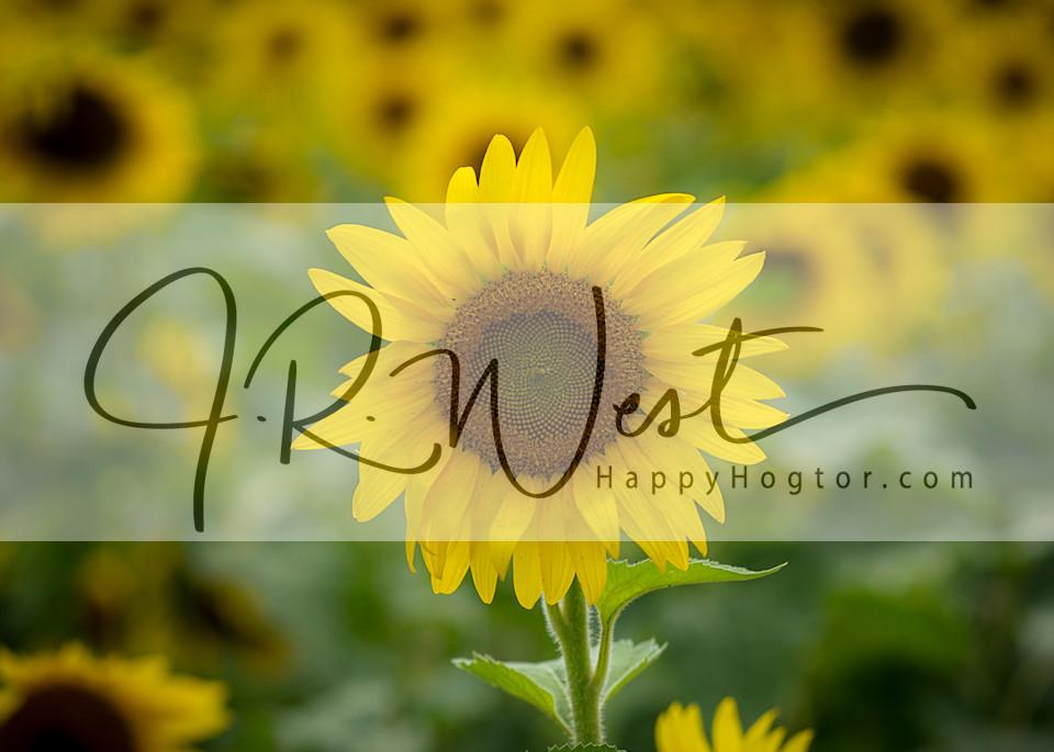 sunflower_summer