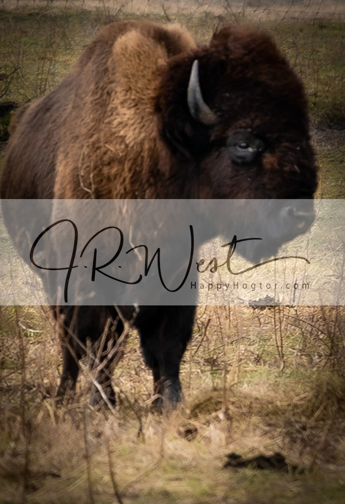 Frank The Bison Photography Art | Happy Hogtor Photography
