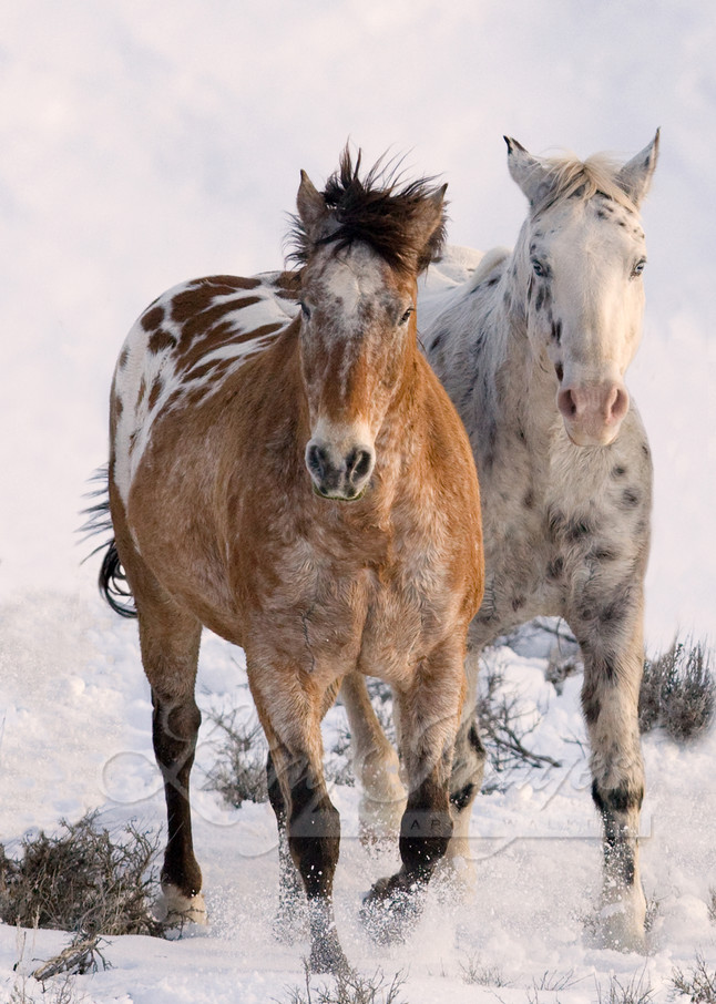 Flitner Ranch, Shell, WY, horses in winter, purebred appaloosas run