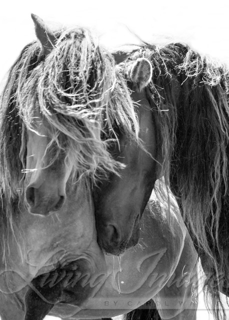 Two Sable Island Stallions  Art | Living Images by Carol Walker, LLC