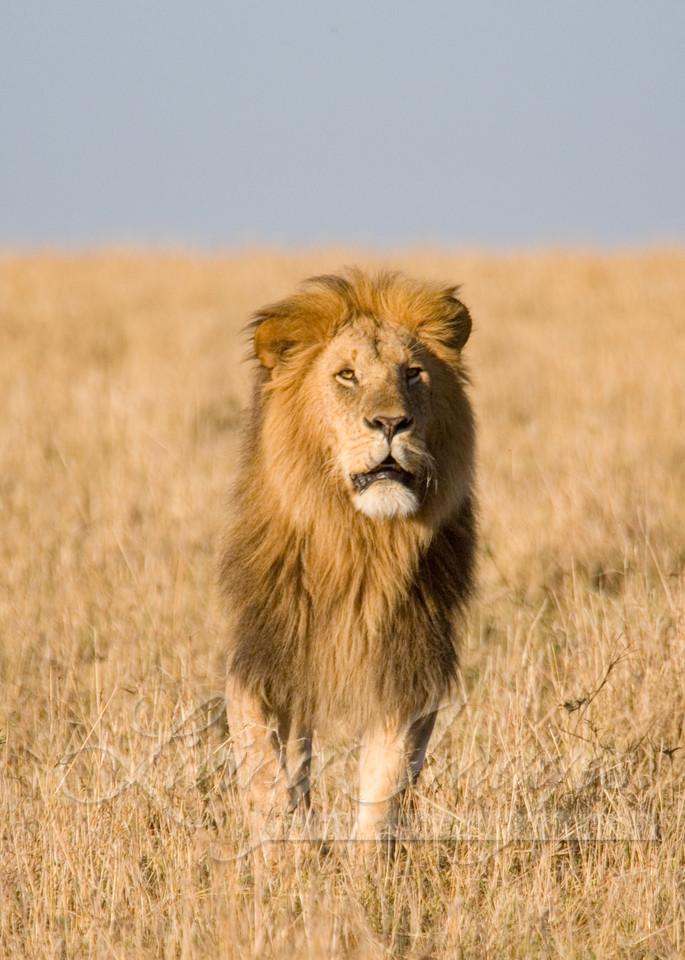 Lion Looks Up Art   Living Images by Carol Walker, LLC