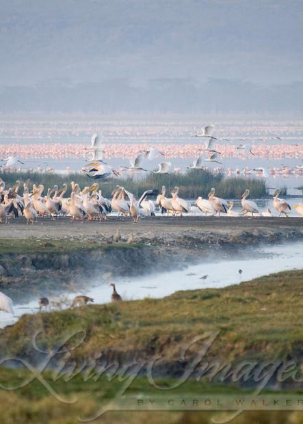 Flamingos In The Mist Art   Living Images by Carol Walker, LLC