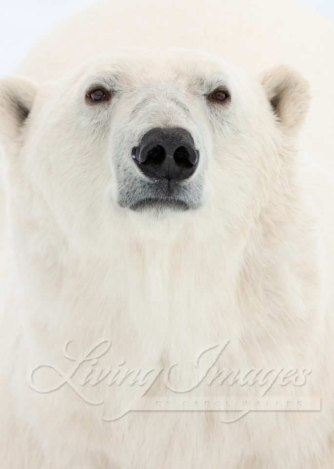 Polar Bear Close Up Art | Living Images by Carol Walker, LLC