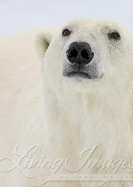 Polar Bear Looks Ii Art | Living Images by Carol Walker, LLC