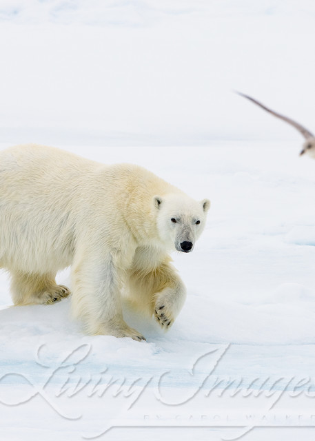 The Polar Bear And The Seagull Art | Living Images by Carol Walker, LLC