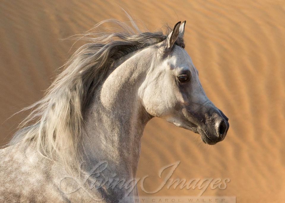 Desert Stallion Against The Dunes Art   Living Images by Carol Walker, LLC