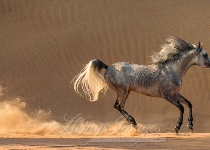 Desert Stallion Gallops Across The Dunes Art   Living Images by Carol Walker, LLC