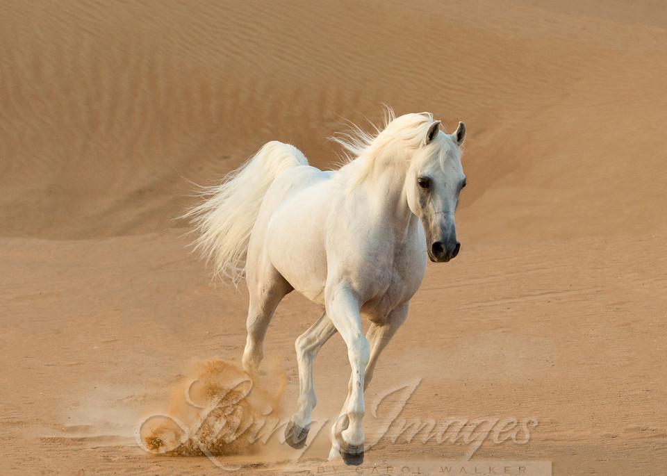 White Stallion Runs In The Dunes Art | Living Images by Carol Walker, LLC
