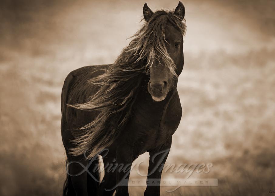 Sable Island Stallion's Dark Portrait In Sepia Art | Living Images by Carol Walker, LLC