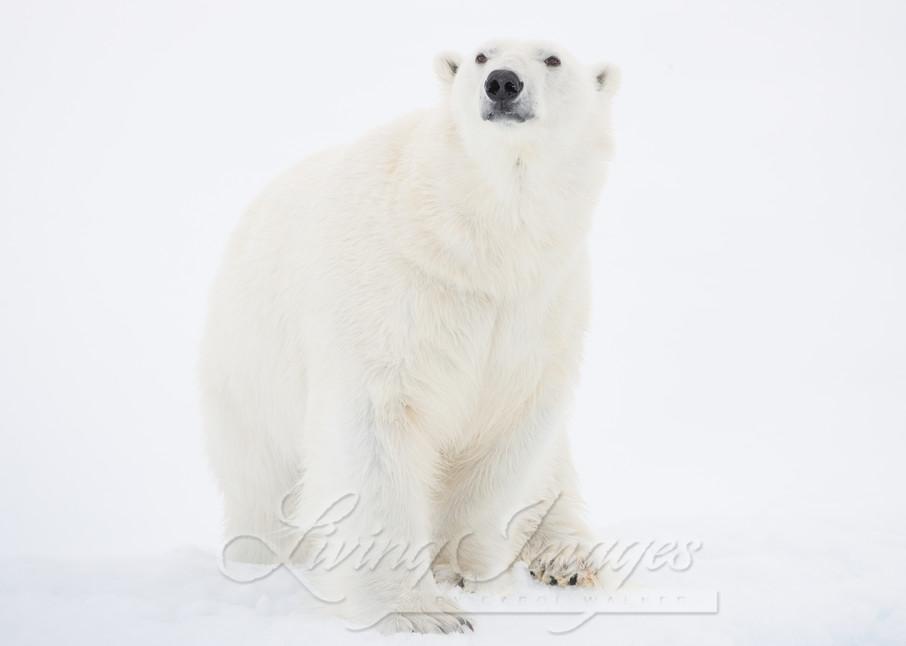 Polar Bear Looks Out Art   Living Images by Carol Walker, LLC