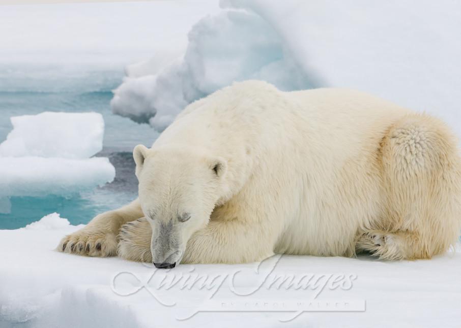Polar Bear Sleeps Art   Living Images by Carol Walker, LLC