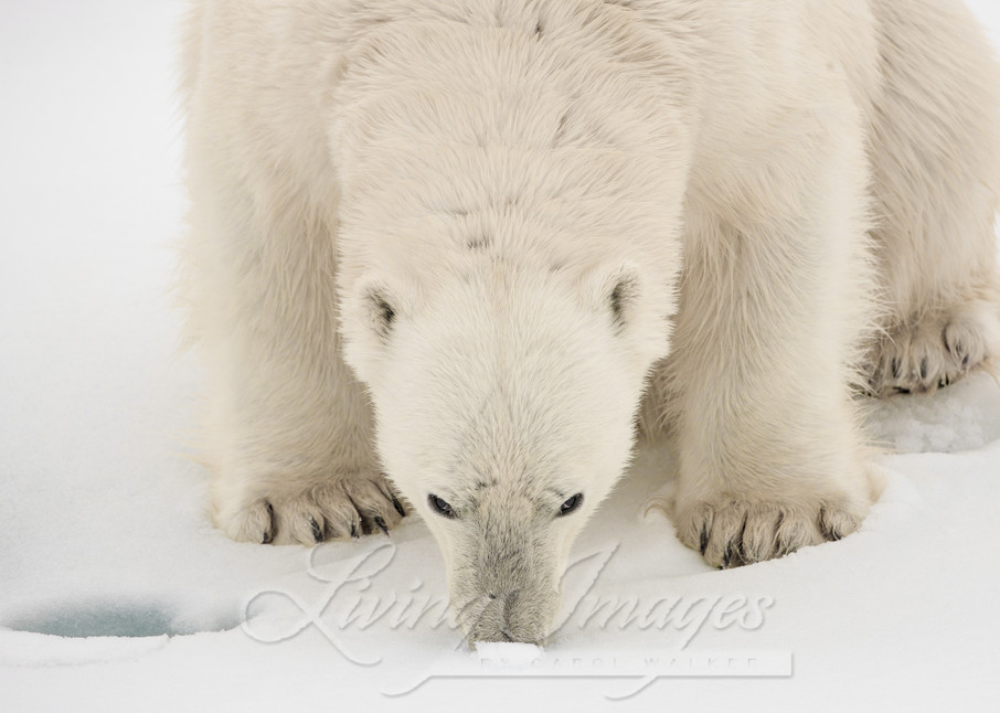 Polar Bear's Nose Art   Living Images by Carol Walker, LLC