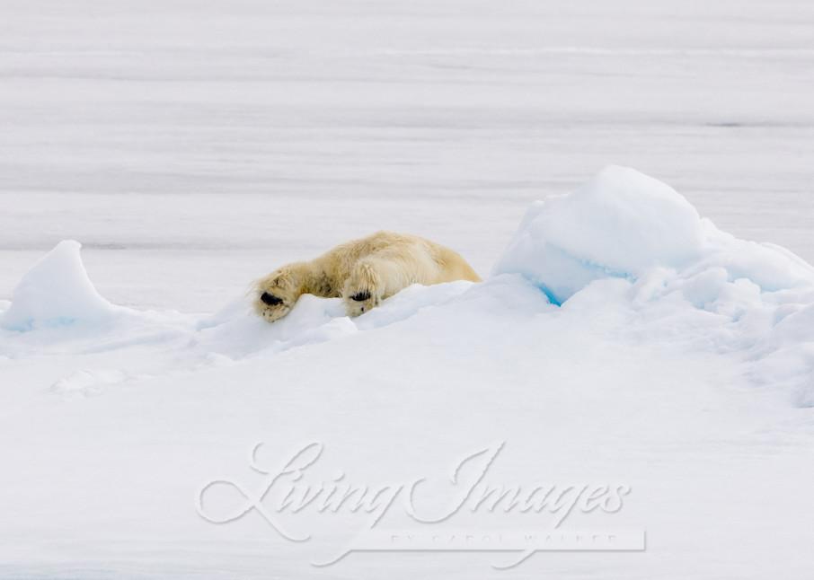 Polar Bear's Feet Art | Living Images by Carol Walker, LLC