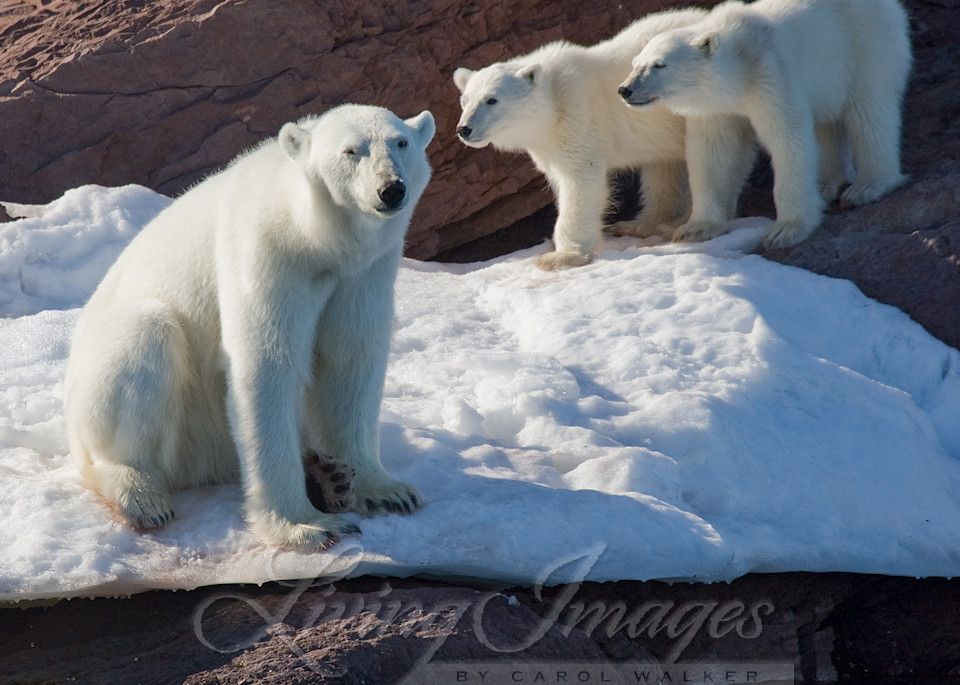 Polar Bear Mother And Cubs Art | Living Images by Carol Walker, LLC