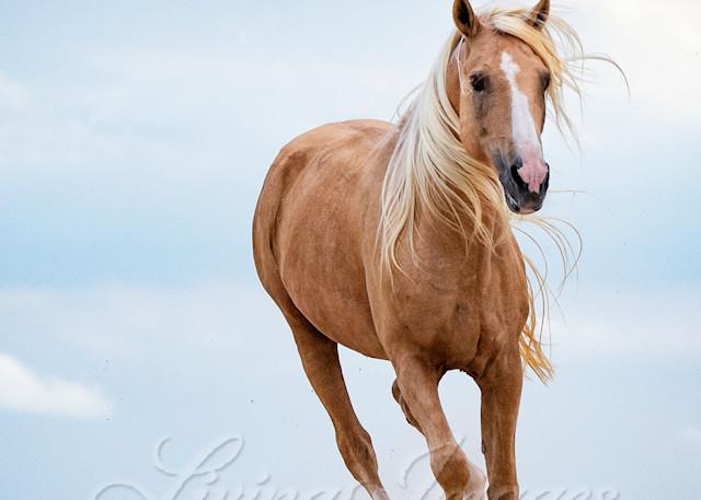 Palomino Stallion Runs In The Dunes Art   Living Images by Carol Walker, LLC