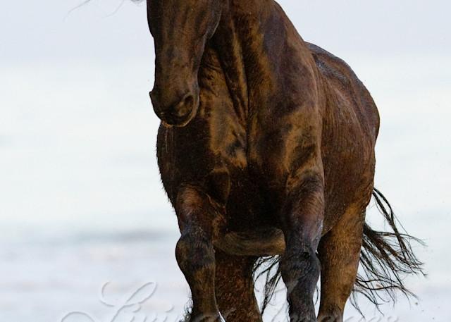 Summerland Beach, Ojai, CA, horse, purebred Friesian gelding runs