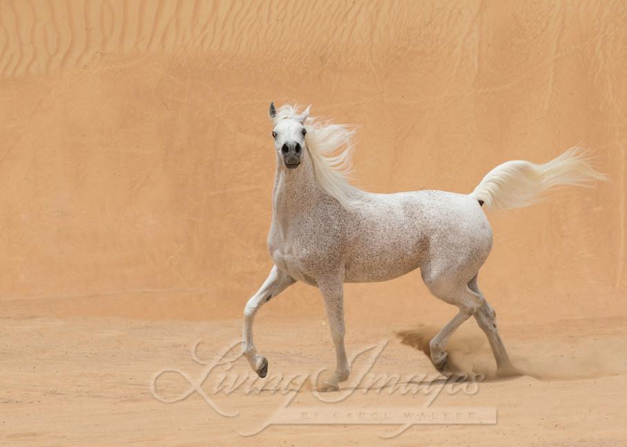 A grey Arabain stallion trots in the dunes near Dubai
