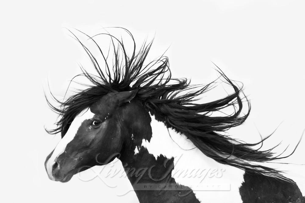 Black And White Stallion  Art | Living Images by Carol Walker, LLC