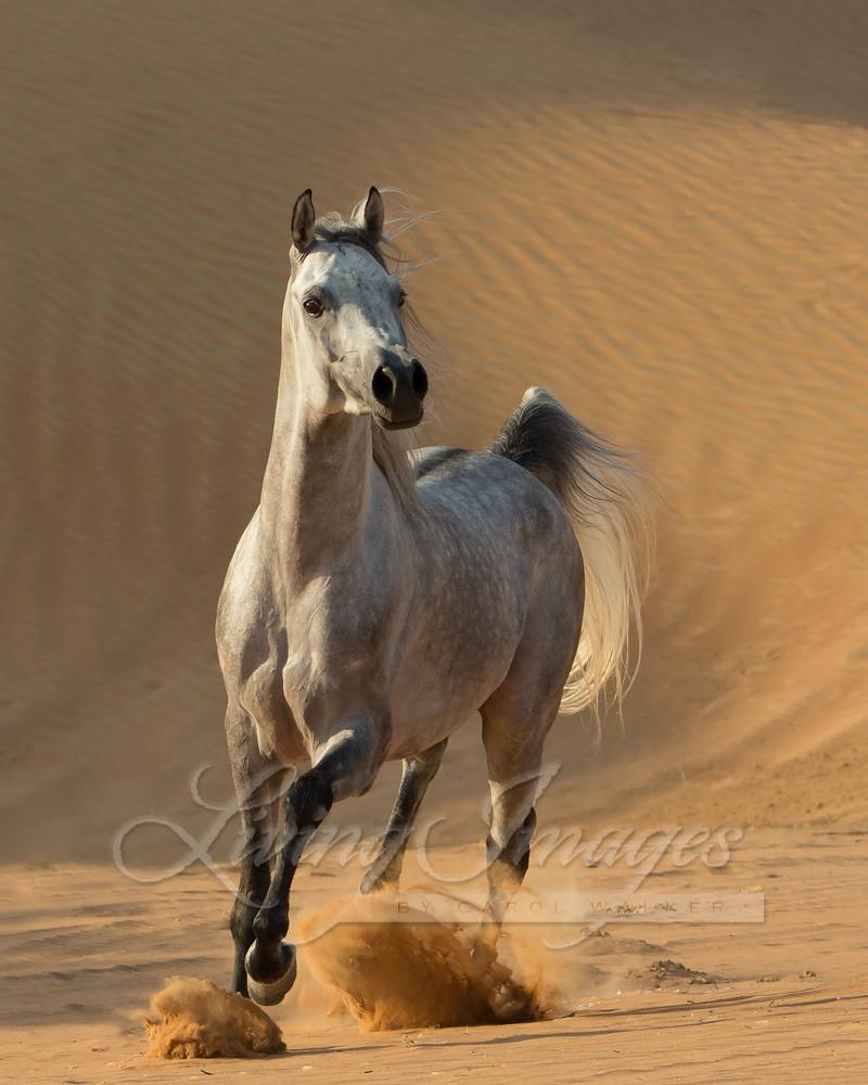 Desert Stallion Runs Free Art | Living Images by Carol Walker, LLC
