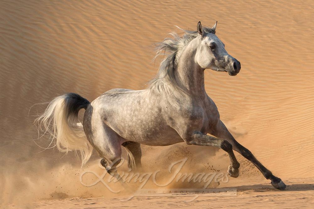 Desert Stallion Runs In The Dunes Art | Living Images by Carol Walker, LLC