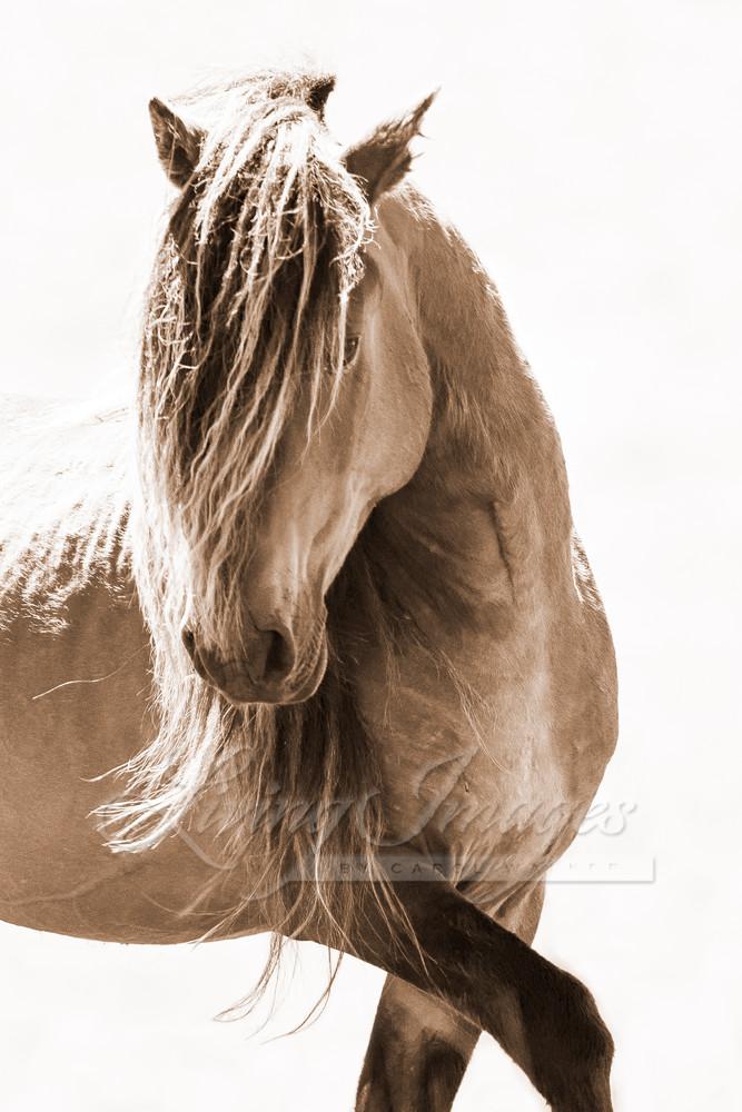 Sable Island Stallion Turns His Head Ii Art | Living Images by Carol Walker, LLC