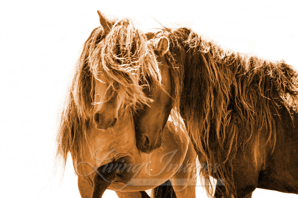 Two Sable Island Stallions Sepia Iv Art | Living Images by Carol Walker, LLC