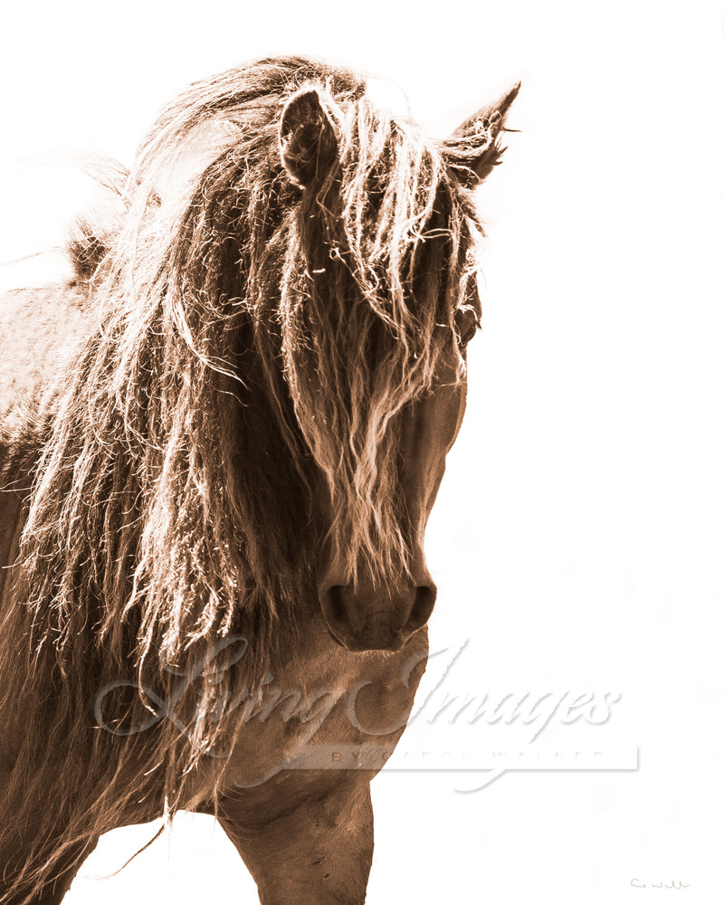 Sable Island Stallion Head On Art | Living Images by Carol Walker, LLC