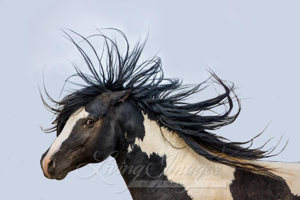 Black And White Stallion In Color Art | Living Images by Carol Walker, LLC