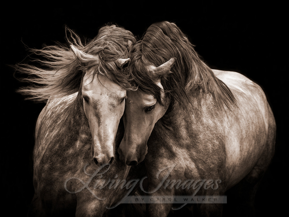 Two Andalusian Stallions In Sepia Art | Living Images by Carol Walker, LLC