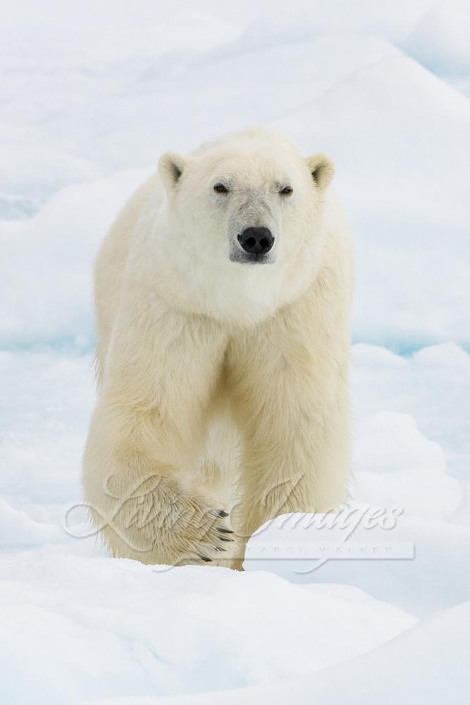 Polar Bear Walks Art   Living Images by Carol Walker, LLC