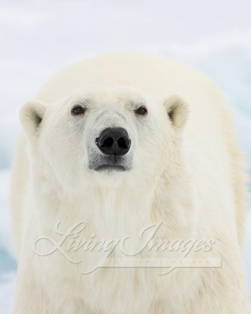 Polar Bear Looks Art   Living Images by Carol Walker, LLC