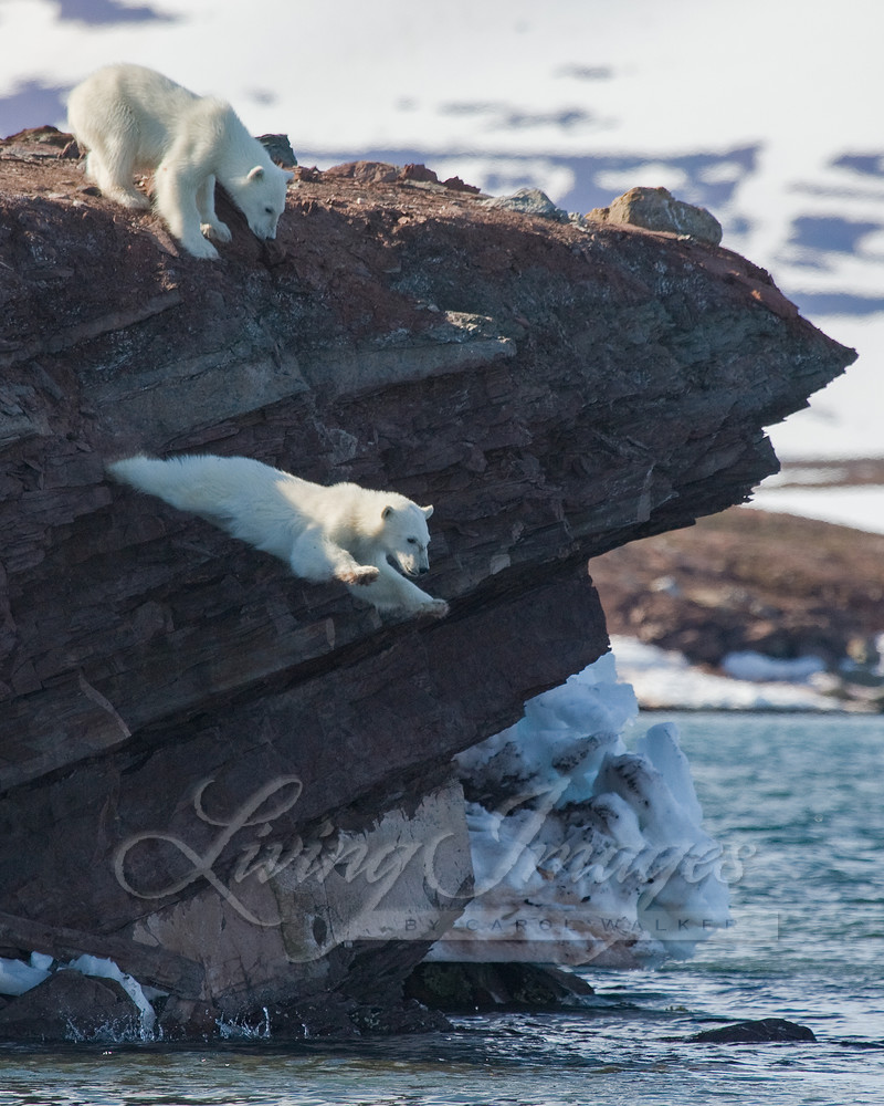 Polar Bear Cub Leaps Art   Living Images by Carol Walker, LLC