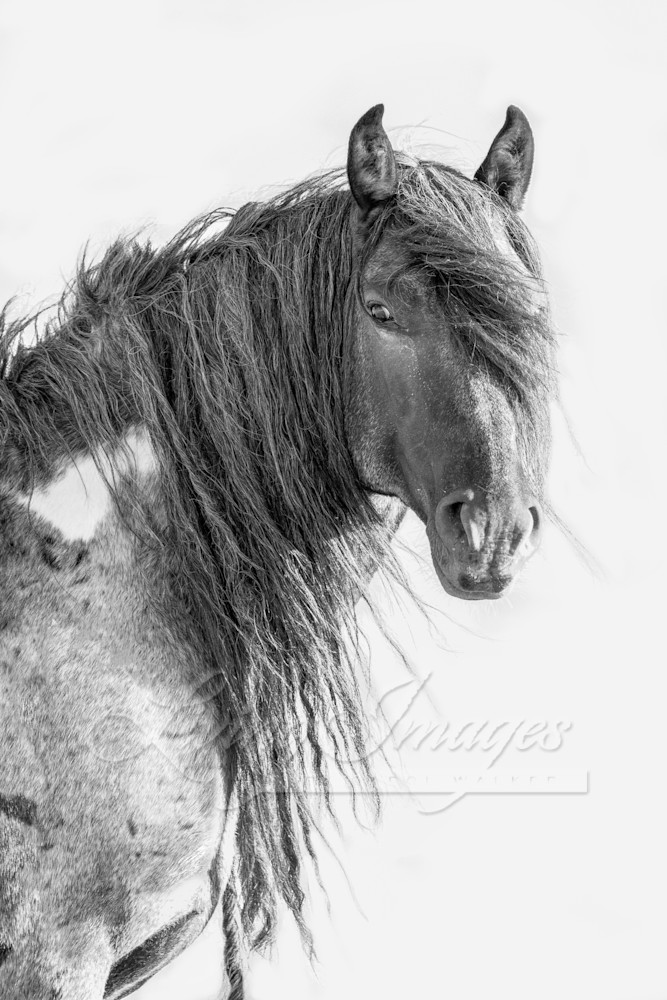 Wild Blue Roan Stallion Ii Art | Living Images by Carol Walker, LLC